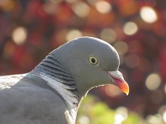 Duif  Pigeon  Dove (_BieFeen) Tags: bird nature canon pigeon dove vogel duif sx60hs