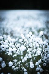 Sea of cottongrass (JaniOjalaFINLAND) Tags: sea summer white flower nature suomi finland bokeh cotton jani ojala cottongrass wwwjaniojalacom