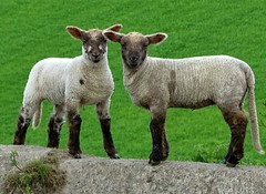When Barry met Garry (baxter.ad) Tags: uk england green wool rural sussex farm lamb fields lambs chops