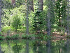 COMMON GOLDENEYE duck (openspacer) Tags: duck pond goldeneye stanislausnationalforest emigrantwilderness tuolumnecounty