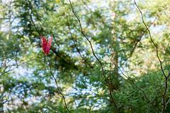 Last Red Leaf (Jeremy Brooks) Tags: california red usa nature leaf bigsur montereycounty camera:make=fujifilm camera:make=fuji camera:model=xpro1 carmelvacationwinter2015