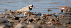 Ringed plover (twodeeswildlife) Tags: sea canon scotland shore loch mull plover ringed wader charadriushiaticula ccwelcome