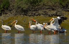 White Pelicans Preening (Roger Nyemaster) Tags: california birds sanfranciscobayarea americanwhitepelican pelecanus pelecanidae pelecanuserythrorhynchos sanfranciscobaytrail haywardregionalshoreline alamedaco ebparksok