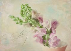 Cut Flowers (JMS2) Tags: pink flowers stilllife texture floral canon pastels vase