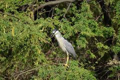 Black Crowned Heron (rschnaible) Tags: life wild usa black bird heron hawaii us tour pacific outdoor sightseeing maui tropical tropics crowned
