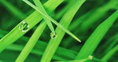 Simple Green Grass Water Drops Water Droplets Close Up Closeup Green Bright Reflections In Water Droplet (Shannon F Gorman) Tags: green closeup bright waterdrops simple waterdroplets greengrass reflectionsinwaterdroplet