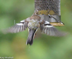 Ooops (Katy Wrathall) Tags: 2016 chaffinch eastriding eastyorkshire england june summer birds feeders garden 30dayswild