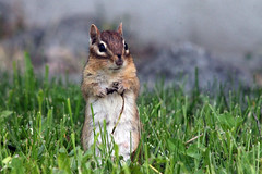 If I may draw your attention to this next slide (LN Ellen) Tags: ontario canada animal rodent backyard funny bokeh critter wildlife chipmunk slideshow presenter ln canadianphotographer chipster canadianfemalephotographers cuteoutdoor