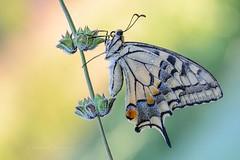 }|{}|{}|{ (Raffaella Coreggioli ( fioregiallo)) Tags: macro natura fotografia fiore insetto fioregiallo nikond7000