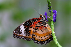 Winged Leopard... (RALPHKE) Tags: travel nature colors closeup canon butterfly germany insect flickr colours butterflies natuur insects lacewing vlinders vlinder 2016 colorsofnature leopardlacewing cethosiacyane wingedleopard krefeldzoo earthnaturelife canoneos750d