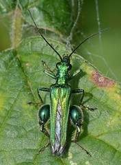 Swollen-thighed Beetle (John_E1) Tags: macro closeup insect beetle nobilis oedemera swollenthighed
