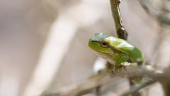 Acrobat 2 (Alex Verweij) Tags: jump close 100mm frog acrobat treefrog kikker struik amfibie braamstruik acrobaat