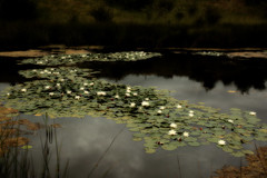 Ninfeas - Nenfares - Nnuphars - Lily pads - Las Mdulas.  LEN, Spain (COLINA PACO) Tags: flowers espaa lake flores lago spain lac fiore len espagne spagna fleures lasmdulas