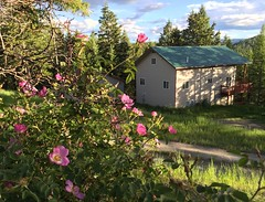 Wild Roses at Home (Rock Water) Tags: wildrose greenroof ruralliving