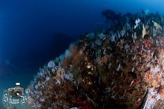 El Cortijo - Peter Ives' Pinnacle (ShaunMYeo) Tags: scubadiving reef gibraltar calpe underwaterphotography جبل gibilterra ikelite طارق גיברלטר elcortijo 直布罗陀 гибралтар γιβραλτάρ gibraltár الطارق cebelitarık gjibraltar ĝibraltaro hibraltar xibraltar giobráltar gibraltārs gibraltaras ġibiltà जिब्राल्टर ஜிப்ரால்டர் జిబ్రాల్టర్ ยิบรอลตา جبرالٹر גיבראַלטאַר गिब्राल्टर জিব্রাল্টার 直布羅 陀જીબ્રાલ્ટર ジブラル peterivespinnacle