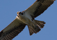 IMG_5858 Osprey (cmsheehyjr) Tags: bird nature virginia hawk wildlife osprey pandionhaliaetus fishhawk rappahannock colemansheehy cmsheehy