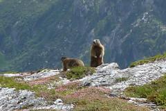 Zillertal: Murmeltiere an der Frauenwand (2.541m) (dscheronimo) Tags: mountain mountains austria sterreich sony berge tux zillertal murmeltiere rx100 frauenwand