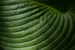 Parallel curves (Irina1010) Tags: leaf hostas lines stipes partallels curves arches green light nature canon ngc