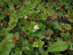 Creeping Raspberry (Bushman.K) Tags: flower leaf berry bud shrub taxonomy:binomial=rubuscalycinoides