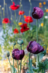 three kinds of poppies (TheLittleMiss) Tags: flowers red summer purple poppy flanders papaversomniferum cornpoppy laurensgrape breadseed papaverrhoes