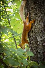 ute squirrel (Maxim Shelkov) Tags: tree green nature beautiful animal animals garden squirrel russia good super
