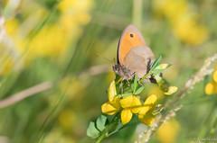Ready to take off (jacobsfrank) Tags: macro green nature yellow butterfly insect leaf flickr belgium belgie natuur blad geel bruinzandoogje meadowbrown goen frankjacobs vinder nikond500 jacobstrank