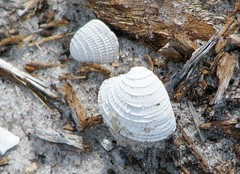 Chione elevata --  Venus clam shells washing out of a sand-bank about three miles inland from the current shore 6494 (Tangled Bank) Tags: from county wild shells beach nature out three venus natural florida clam palm shore about miles inland current washing sandbank 6494 elevata chione