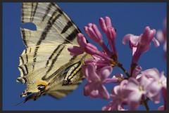 IMGP6062 (robert.fr.22) Tags: flowers fleurs flore lilas papillons