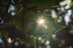 (E C L I P S E) (NVOXVII) Tags: eclipse lightflare light sunlight lightleak holly leaf nature green uk summer nikon shape concept arty creative dof depthoffield
