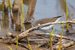 Common sandpiper 2 (scyrene) Tags: brown white lake green bird water reeds grey mud commonsandpiper martonmere