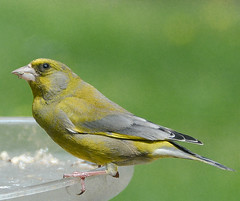 Green Finch (mayaplus) Tags: bird garden norfolk greenfinch