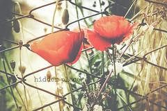hidden place (TIBBA69) Tags: old light canon vintage colours retro poppies colori luce hiddenplace papaveri andreatiberini