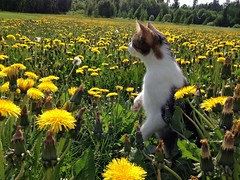 (Sameli) Tags: summer pet flower yellow cat suomi finland nenu