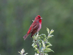 Common Rosefinch; Carpodacus erythrinus (phenolog) Tags: bird ukraine crimea fringillidae passeriformes commonrosefinch carpodacuserythrinus