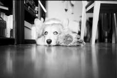 another P. (komehachi888) Tags: dog corgi contaxt3 selfdeveloped pitan filmshots luckyshd100 sonnar35mmf28