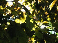 Sunlight through leaves (lady.bracknell) Tags: sunlight macro tree leaves sunshine liverpool princespark