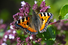 butterfly (Frank Schmidt) Tags: summer colors animals yellow canon butterfly out insect denmark photography eos photo colorful outdoor candid sommer natur watching picture 7d l danmark ef sommerfulg farver eos7d
