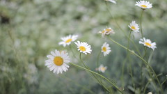 rainy day (Alice Luk.) Tags: flowers flower nature beauty canon 50mm mood dof tea bokeh deep organic 169 gentle wh camomile 600d canon600d