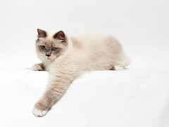 . (rampx) Tags: white cat studio background neko  ragdoll  kuranosuke miaw