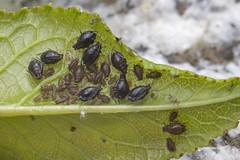 Blattlausfamilien (Helmut44) Tags: macro nature tiere leaf natur blatt blattluse