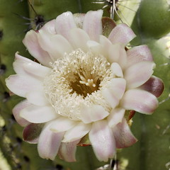 Organ pipe cactus bloom at Tucson Botanical Gardens, June 25 2013 (Distraction Limited) Tags: flowers arizona gardens geotagged tucson flipit botanicalgardens tucsonbotanicalgardens tucsonbotanical stenocereusthurberi organpipecactus stenocereus dembflipit geo:lat=3224798498539515 geo:lon=1109080109411392