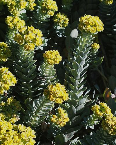Photo - Myrtle Spurge - Colorado List A noxious weed