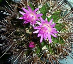 Neoporteria wagenknechtii cactus (nolehace) Tags: sanfrancisco summer cactus flower succulent bloom 713 wagenknechtii neoporteria nolehace fz35