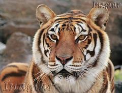 tigre (Marina-Inamar) Tags: specanimal alittlebeauty coth5