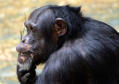 nachdenklich (karinrogmann) Tags: monkey thoughtful chimpanzee affe schimpanse scimmia zookrefeld pensieroso scimpanze