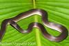 Ninia atrata (Nathan Shepard) Tags: summer canon ecuador nathan reptile snake 2008 province shepard ecu ninia esmeraldas atrata 40d