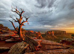 The Crooked Old Tree, part 2 (RondaKimbrow) Tags: sunlight tree sunrise landscape golden rocks glow desert deadtree geology grandjunction fruita coloradonationalmonument coloradolandscape coloradoimages rondakimbrowphotography