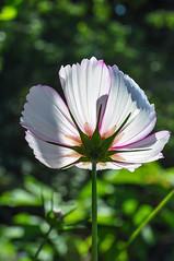 DSC_0167 - Light and shade (SWJuk) Tags: park uk light summer england sunlight flower home nikon naturallight lancashire shade bloom burnley d90 offshoots towneley 2013 nikond90 swjuk aug2013