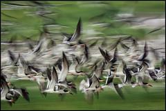 Skimmer Blur (Nikographer [Jon]) Tags: summer ny black bird beach birds nikon august aug blackskimmer skimmers 2013 blackskimmers d7100 20130809d710011688