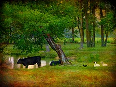 An Impressionist's View of an Edgecombe Meadow in Late Summer: Carr Farm Road, Crisp Vicinity, Southern Edgecombe County, North Carolina (EdgecombePlanter) Tags: light shadow summer painterly texture chicken colors rural countryside cow nc meadow peaceful northcarolina goats impressionist impressionistic textured edgecombe likeapainting rurallandscape